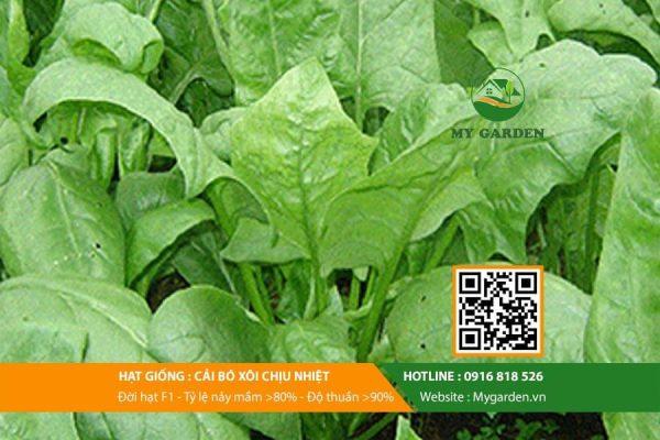 Hat-giong-Cai-bo-xoi-My-Garden-hinh-44