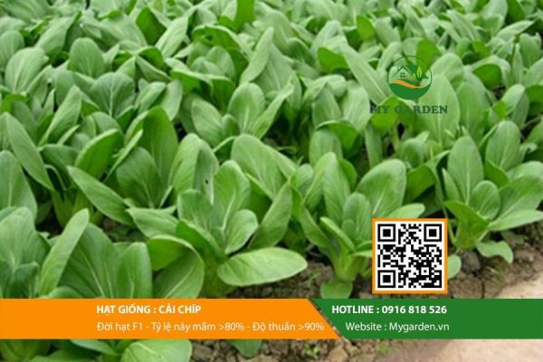 Hat-giong-Cai-chip-My-Garden-hinh-33