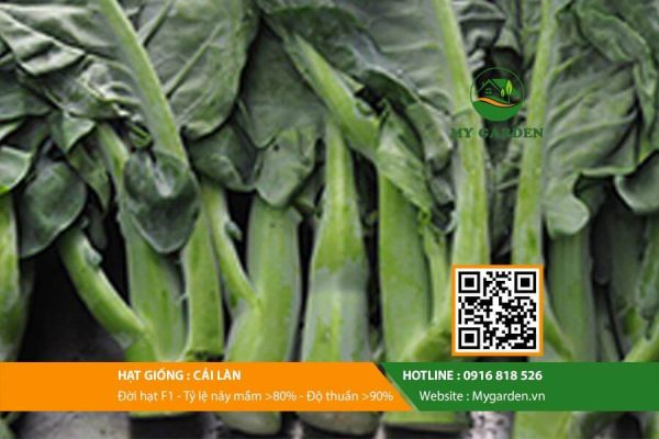 Hat-giong-Cai-lan-My-Garden-hinh-22