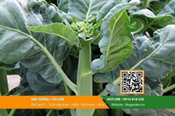 Hat-giong-Cai-lan-My-Garden-hinh-33