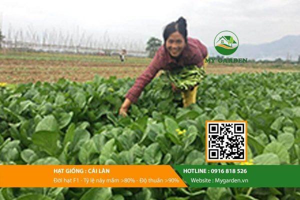 Hat-giong-Cai-lan-My-Garden-hinh-44
