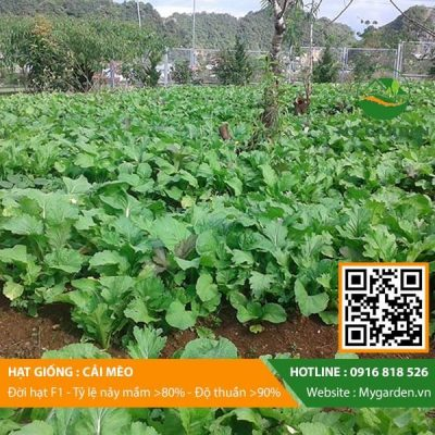 Hat-giong-Cai-meo-My-Garden-hinh-22