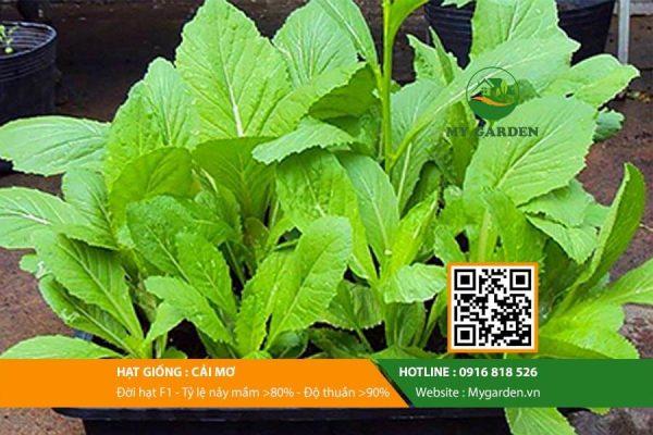 Hat-giong-Cai-mo-My-Garden-hinh-22