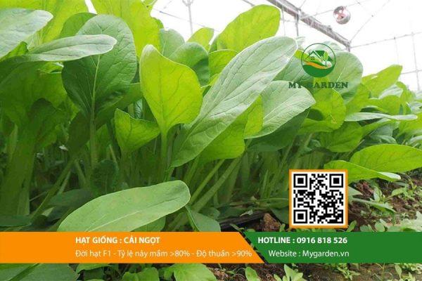 Hat-giong-Cai-ngot-My-Garden-hinh-11