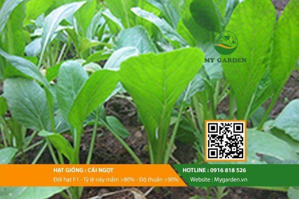 Hat-giong-Cai-ngot-My-Garden-hinh-33