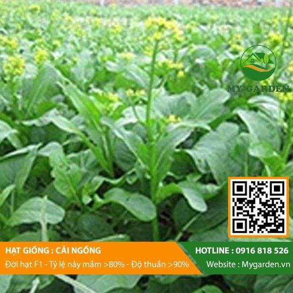 Hat-giong-Cai-ngong-My-Garden-hinh-11