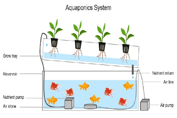Hướng dẫn làm hệ thống Aquaponics trồng rau nuôi cá