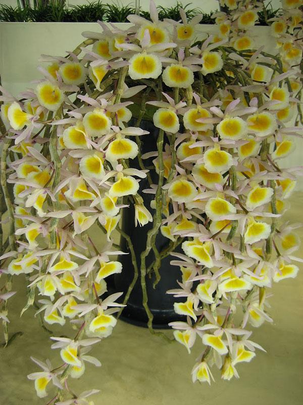 Hoa có màu vàng và mọc xung quanh thân