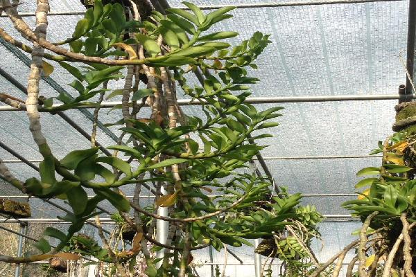 Thân cây lan Lộc Bắc