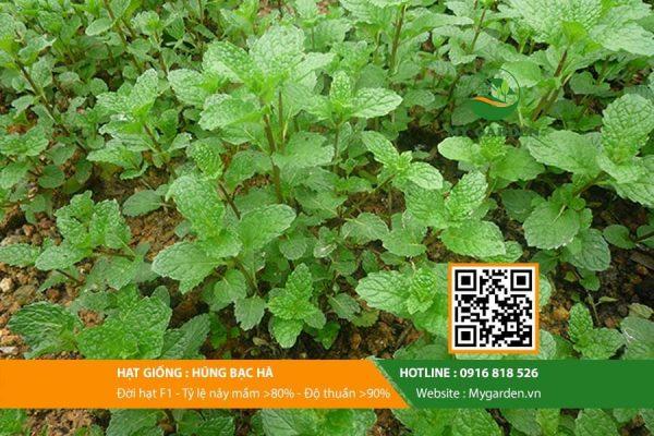 Hat-giong-Hung-bac-ha-My-Garden-hinh-11