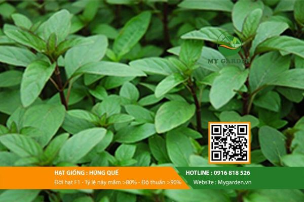 Hat-giong-Hung-que-My-Garden-hinh-11