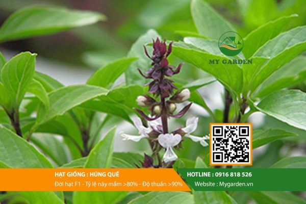 Hat-giong-Hung-que-My-Garden-hinh-33