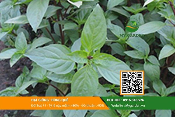 Hat-giong-Hung-que-My-Garden-hinh-44