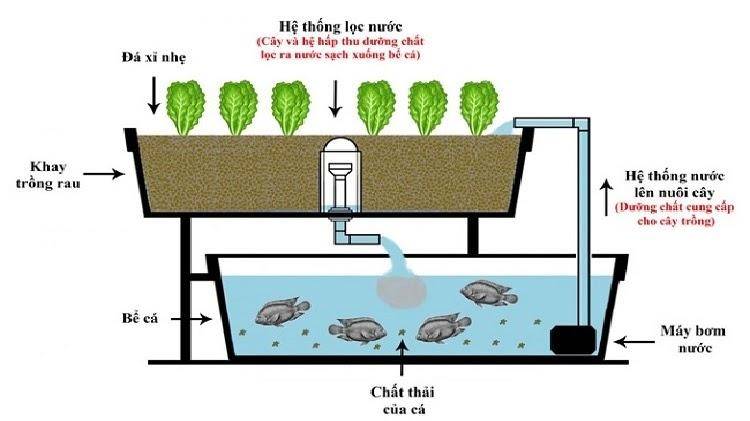 Mô hình Aquaponics: Nuôi cá kết hợp trồng rau thủy canh