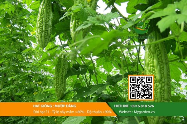 Hat-giong-Muop-dang-My-Garden-hinh-11