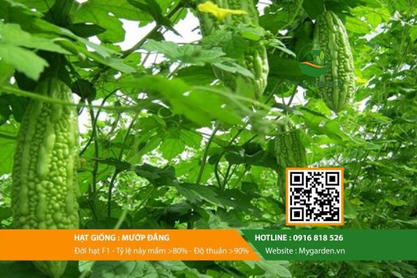 Hat-giong-Muop-dang-My-Garden-hinh-22