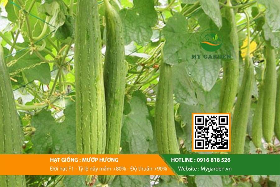 Hat-giong-Muop-huong-My-Garden-hinh-22