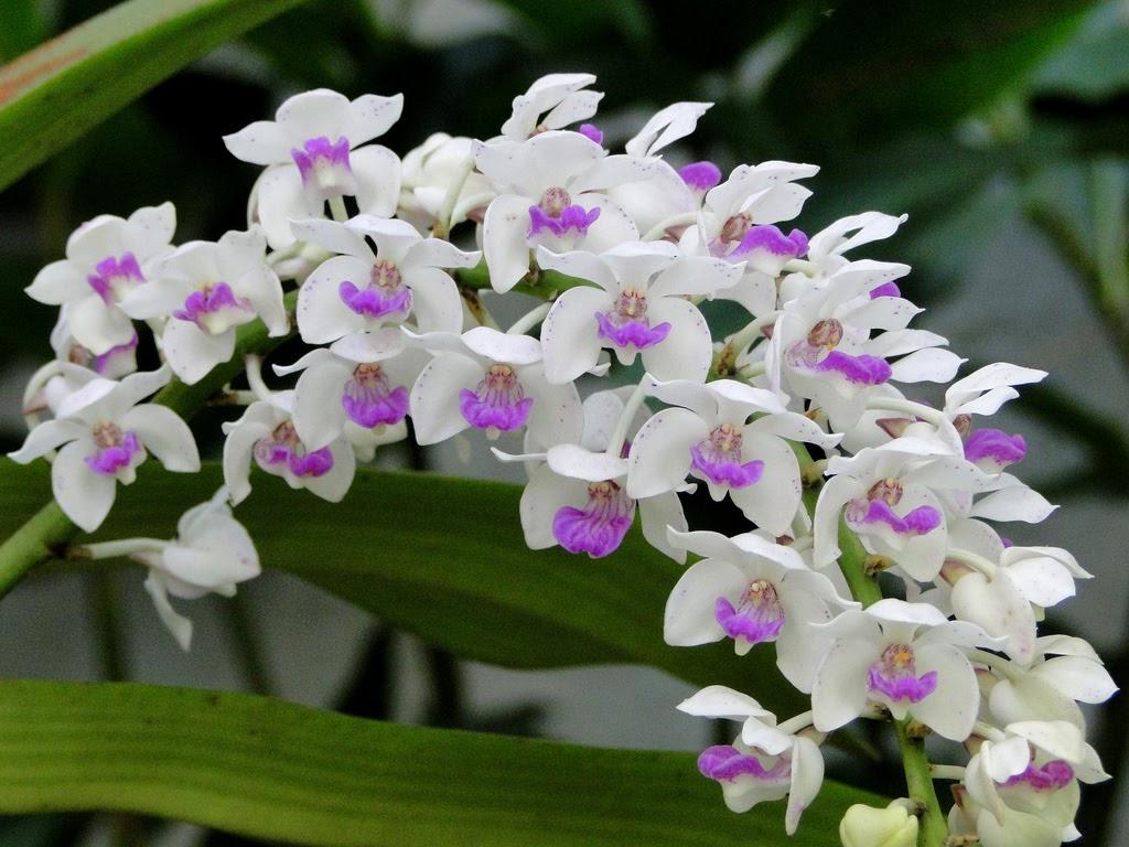 Hoa mọc theo chùm - Nhận biết các loại hoa phong lan