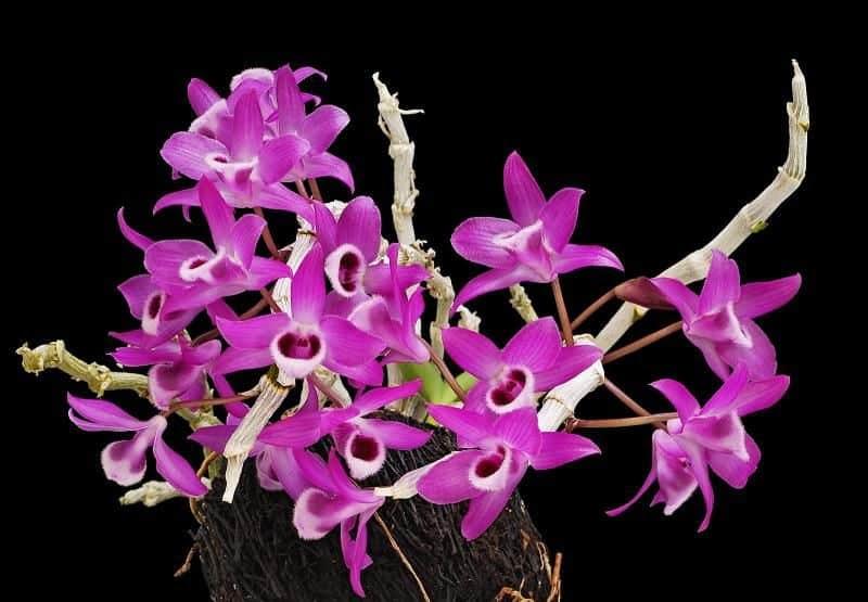 Hoa phong lan với mùi thơm dịu nhẹ