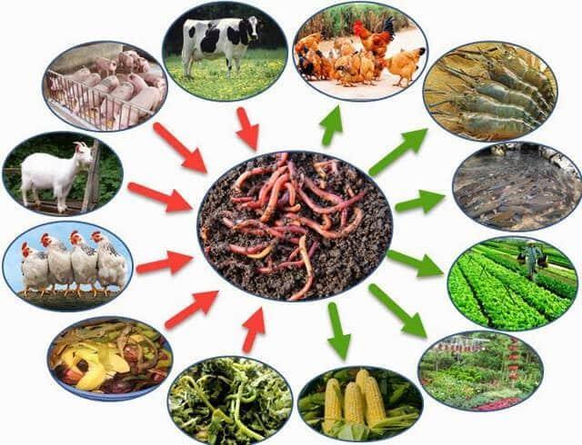 Thức ăn cho trùn tốt nhất là một nửa rác hữu cơ, một nửa phân động vật