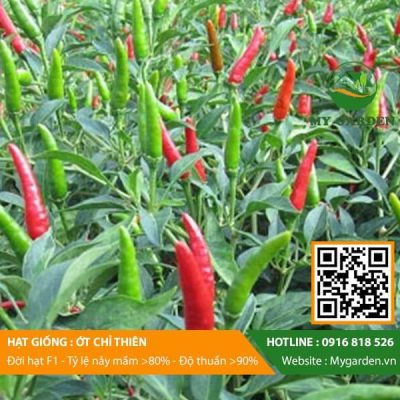 Hat-giong-Ot-chi-thien-My-Garden-hinh-11
