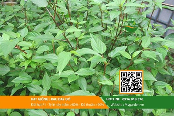 Hat-giong-Rau-day-do-My-Garden-hinh-11
