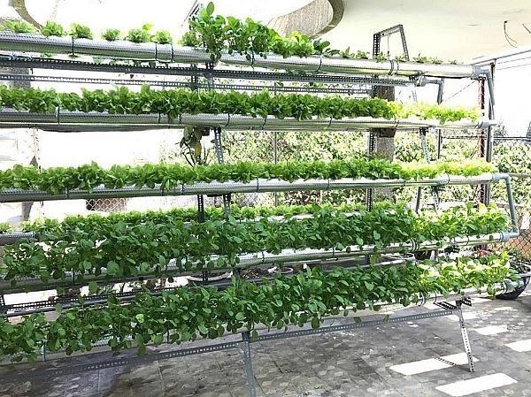 Vườn rau thủy canh có lợi thế vượt trội