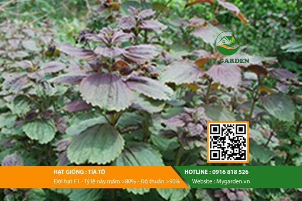 Hat-giong-Rau-tia-to-My-Garden-hinh-33