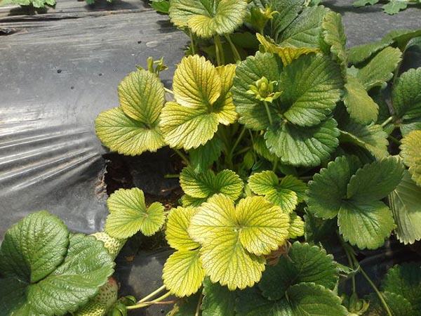 Rau thiếu các chất dinh dưỡng sẽ dẫn đến hiện tượng vàng lá