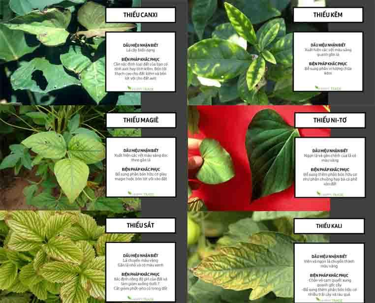Rau thơm bị vàng lá do thiếu dinh dưỡng
