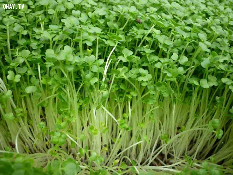 Rau mầm bị vàng lá do mật độ gieo dày