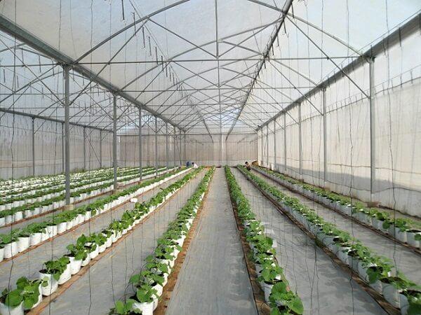 Trồng rau trong nhà lưới giảm lượng sâu bệnh gây hại cho rau