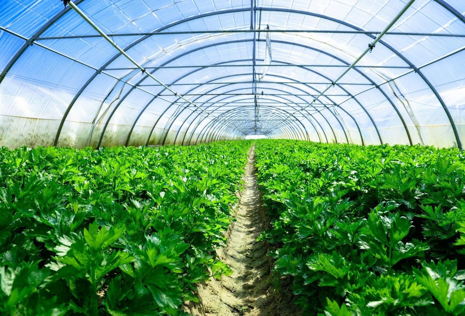 Trồng rau sạch trong nhà kính - giải pháp mới cho ngành nông nghiệp