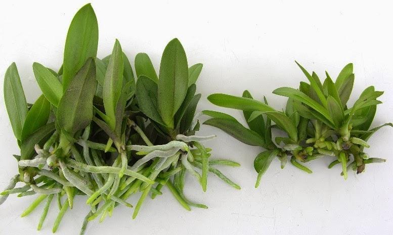 Cách trồng và chọn cây giống hoa lan hồ điệp