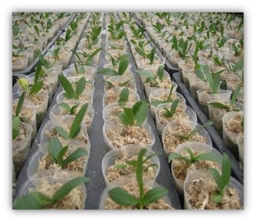 Chọn giá thể trồng lan tơi, xốp, giữ ẩm tốt