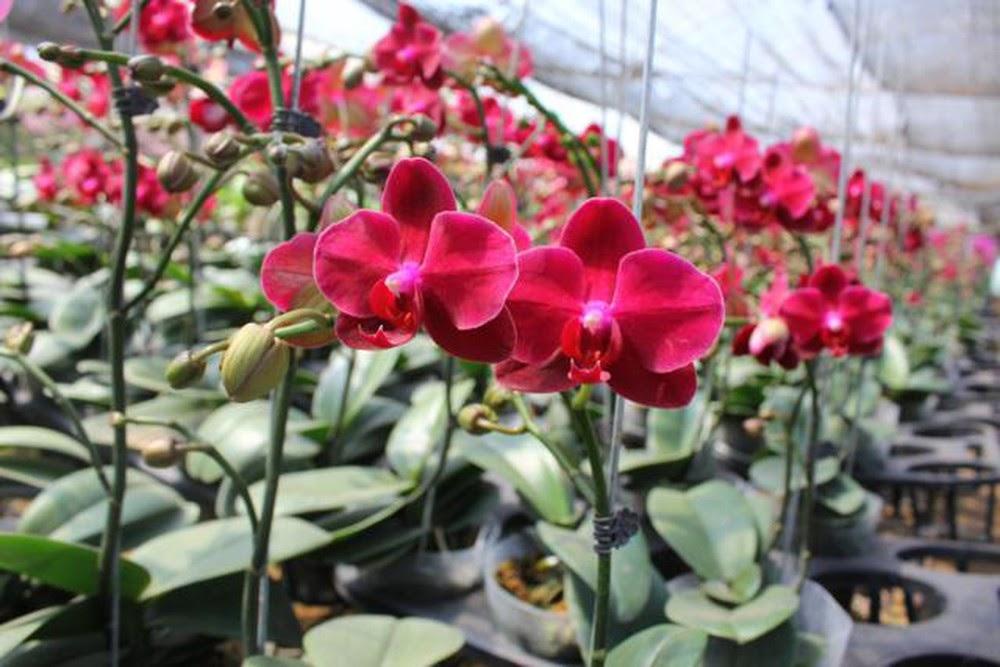 Chăm sóc lan hồ điệp trong quá trình cây ra hoa