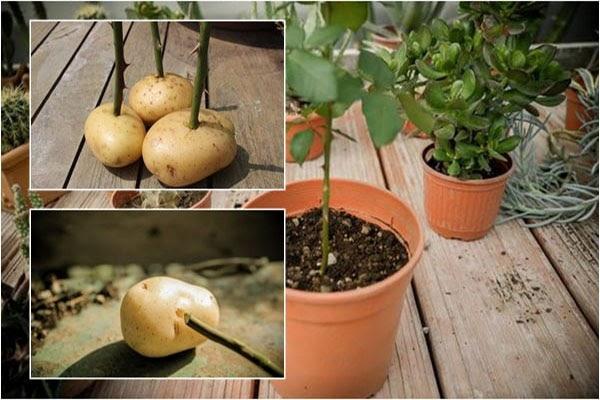 Cách giâm cành hoa hồng bằng khoai tây cho tỷ lệ thành công cao