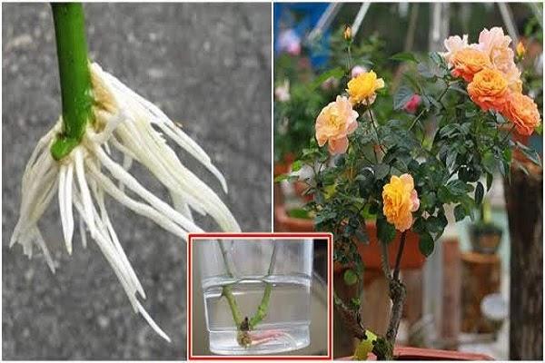 Cách giâm cành hoa hồng bằng nước rất dễ thực hiện