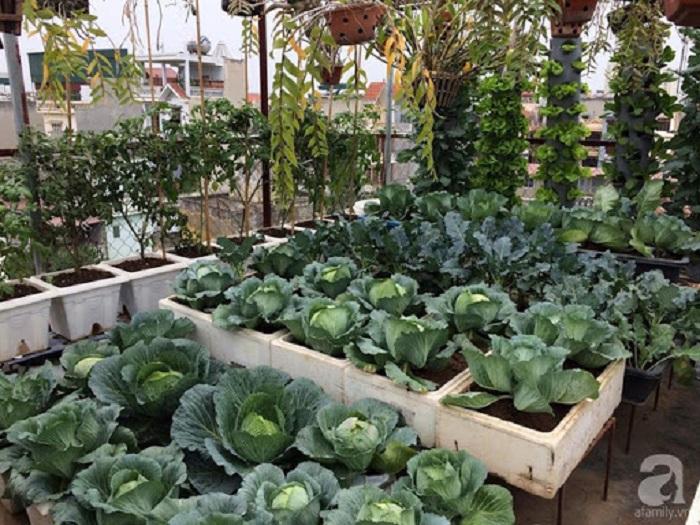 chăm sóc rau bắp cải tại nhà