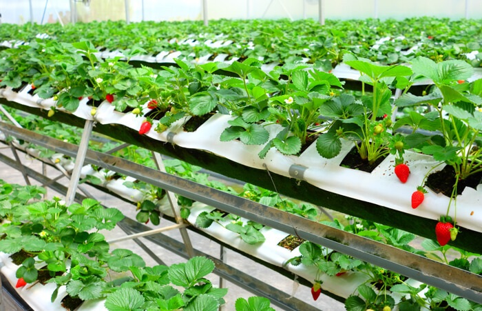 Cách ủ đất trồng dâu tây hiệu quả