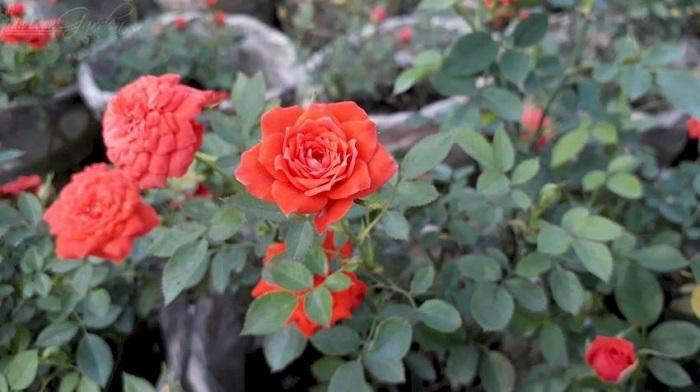 cách làm đất trồng hoa hồng đơn giản