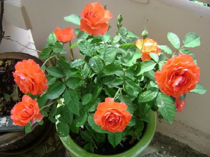 làm đất trồng hoa hồng