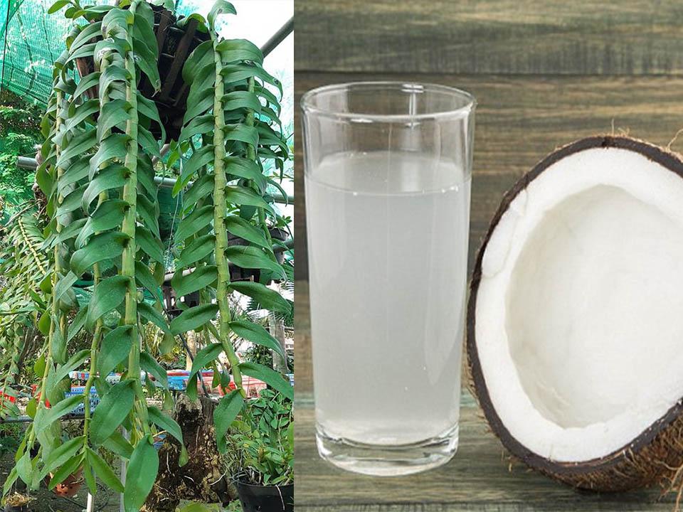 Nước dừa rất tốt đối với hoa lan