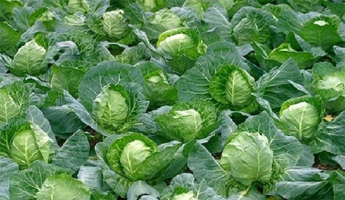 cách chăm sóc ray bắp cải