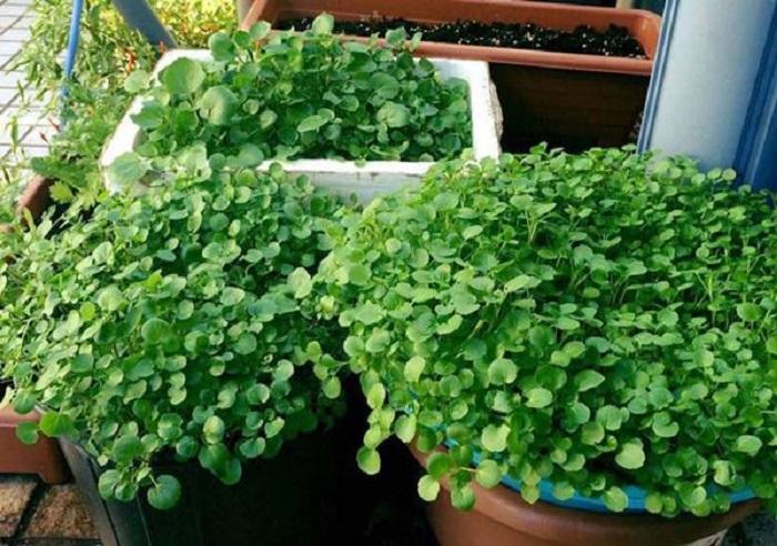 kỹ thuật trồng rau cải xoong hiệu quả