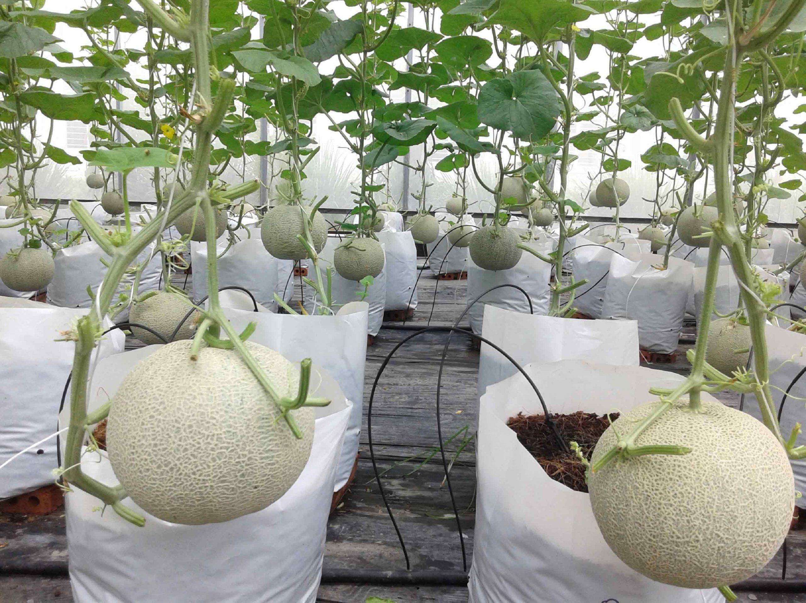 Đất trồng dưa lưới tốt
