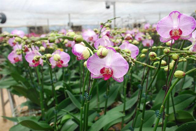 Đài của hoa lan