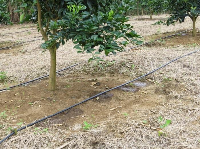Hệ thống tưới nhỏ giọt cây ăn trái