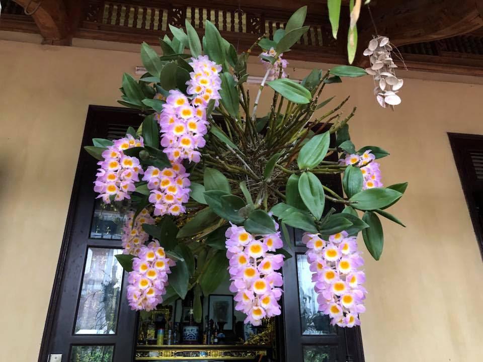 Hoa lan kiều tím