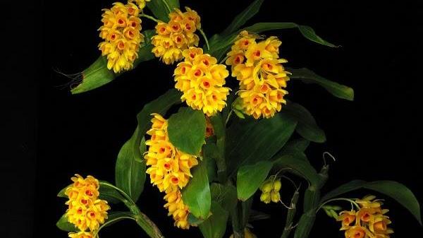 Hoa lan kiều dẹt